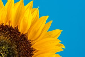 yellow sunflower with black center and blue sky in the background Tag: affirmations self-care strategies