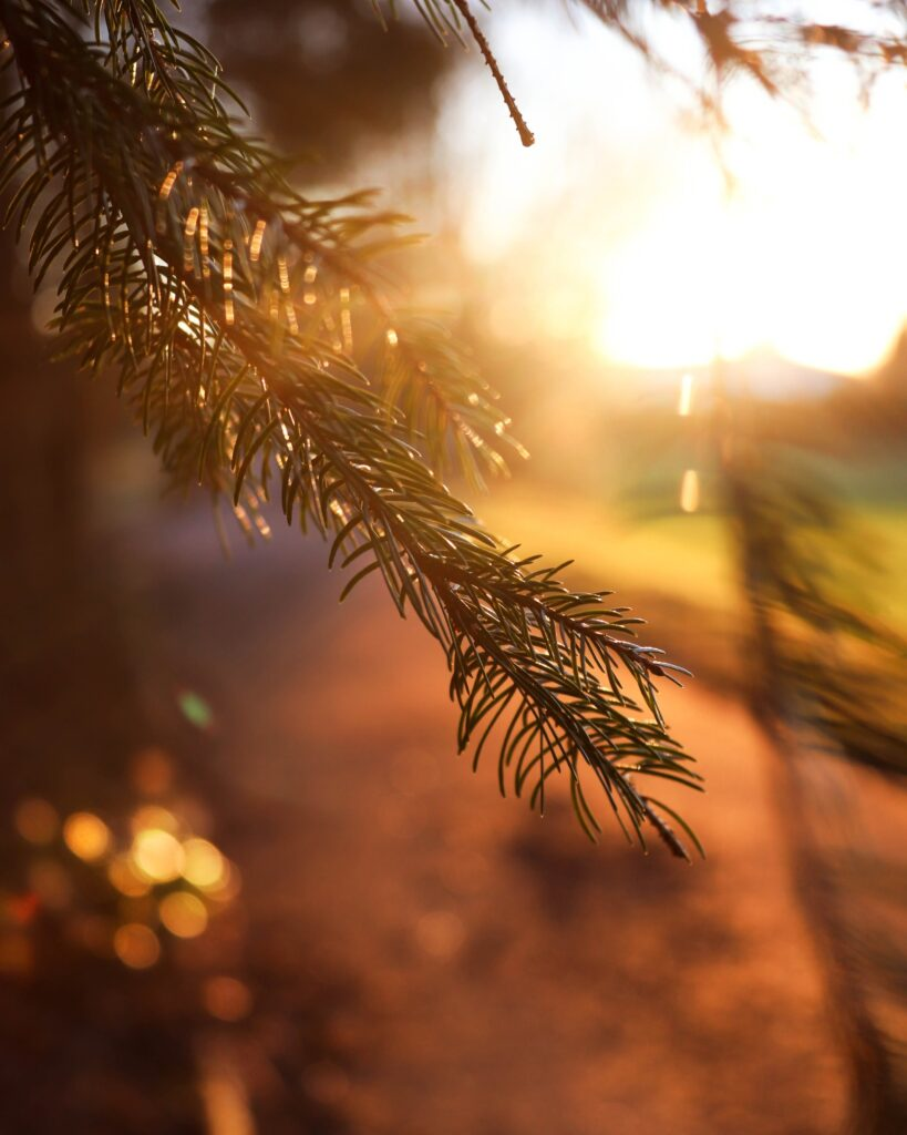 a green limb of an evergreen tree with the sun coming up with a forest and green field in the background Tag: merry everything