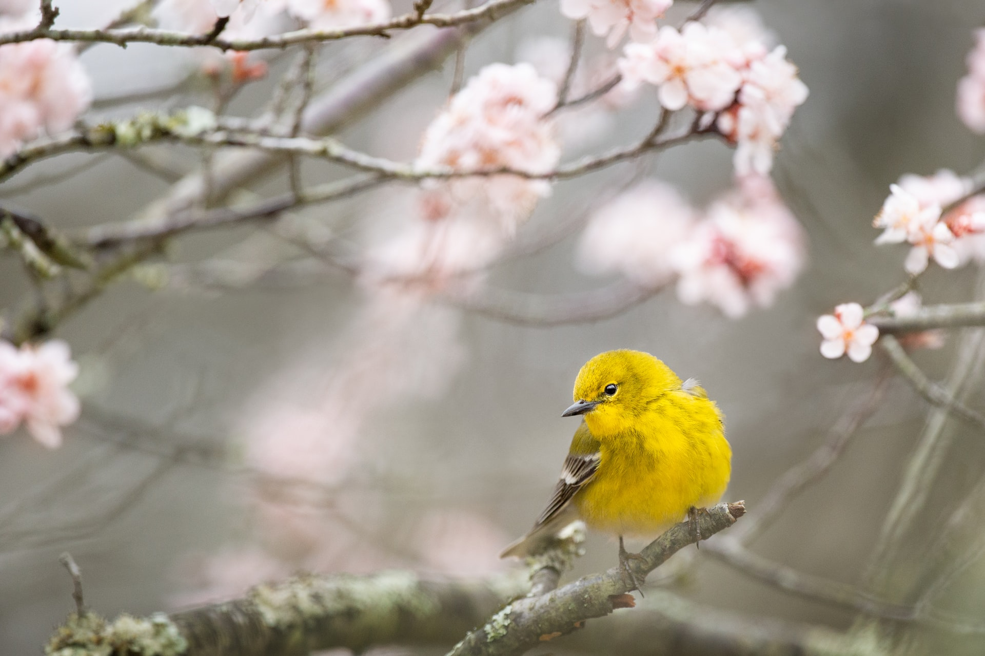 image of tree with pink blossoms, with a yellow pine warbler bird perched on a branch. Tag: april 2021 self-care